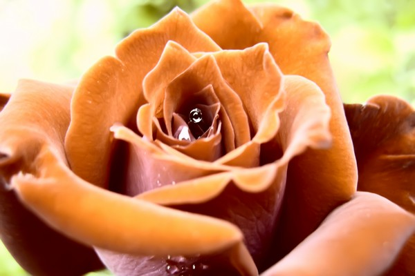 05rose-of-orange