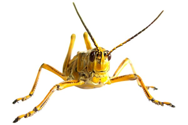 08yellow-grasshopper