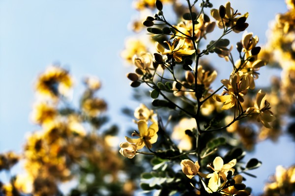 09flowers-of-gold