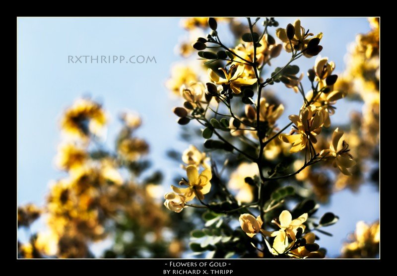 Flowers of Gold