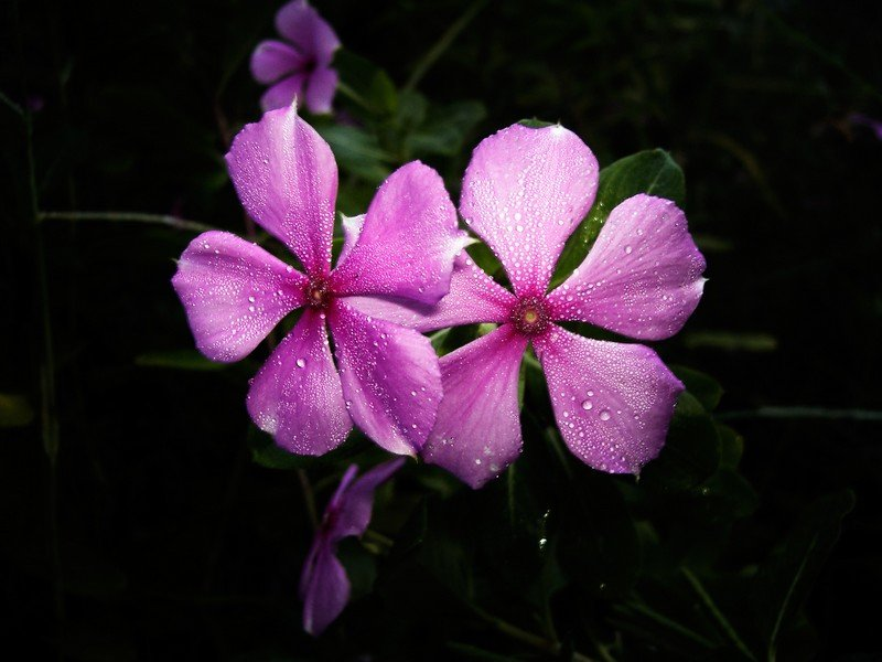 Pink Flowers in Early Morning