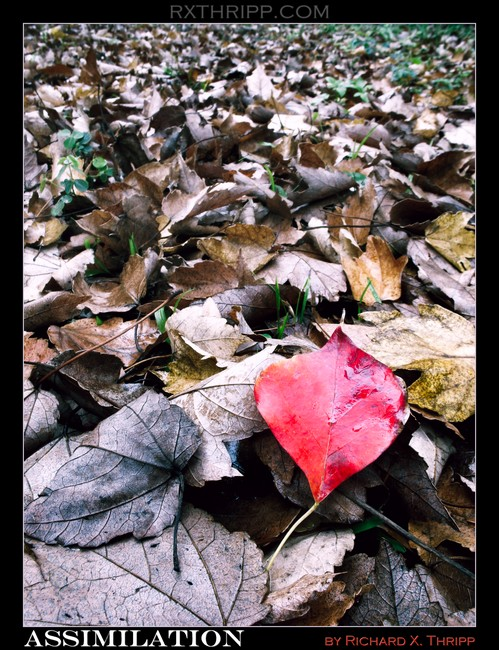 Assimilation — a lone red leaf in a sea of death