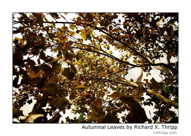 Autumnal Leaves — the leaves of autumn are about to fall