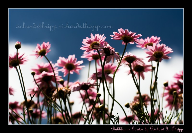 Bubblegum Garden — shiny pink flowers against a rich blue and white sky