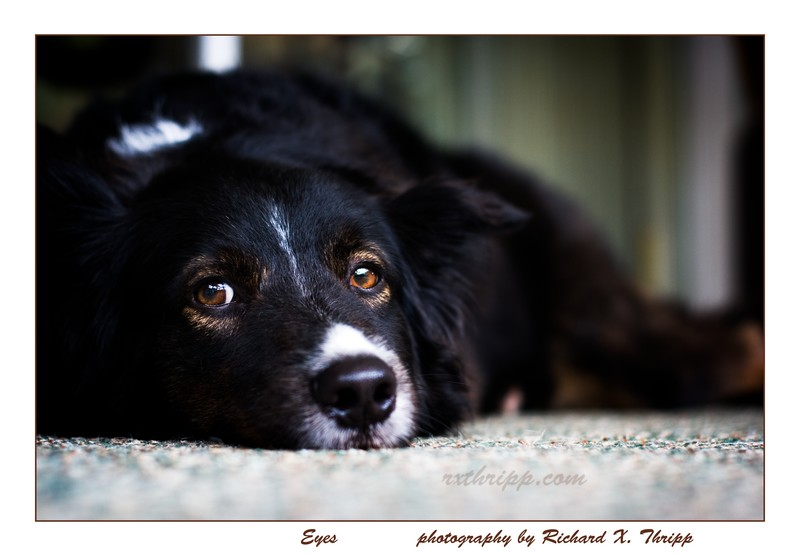 Eyes — a melancholic dog stares at the camera