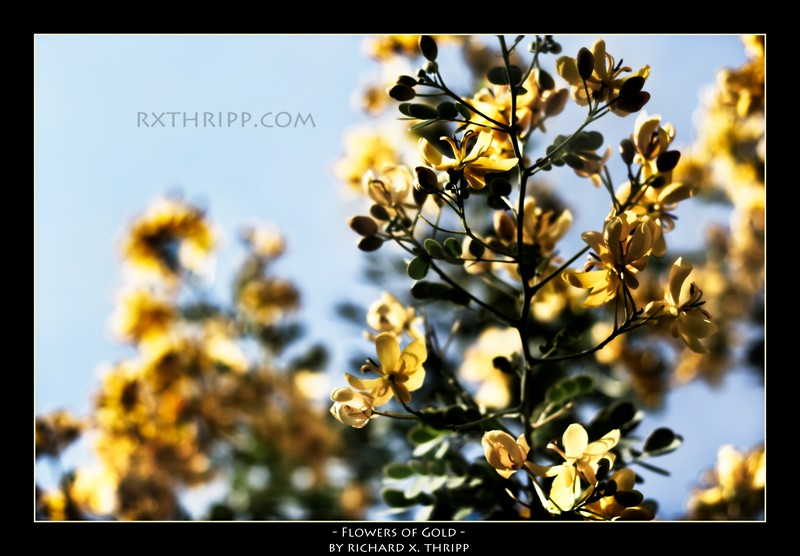 Flowers of Gold — bright yellow flowers against a sunny blue sky