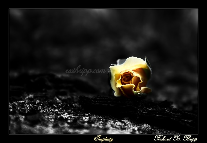 Implicity — a beautiful yellow rose