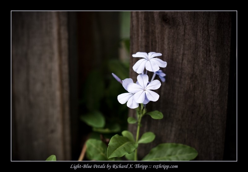 Light-Blue Petals