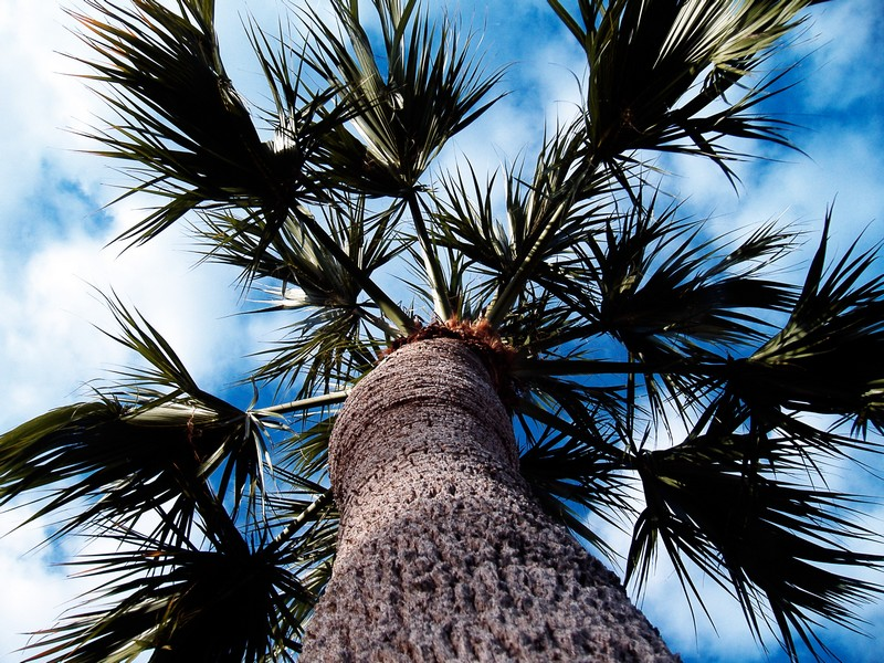 Photo: Palm Tree