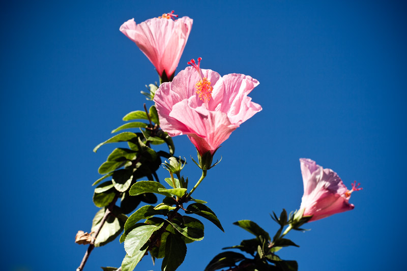Photo: Pink Hibiscus