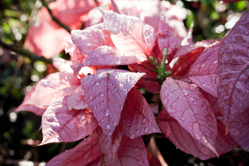 Photo: Pink Leaves with Raindrops