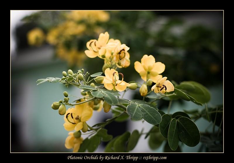 Platonic Orchids