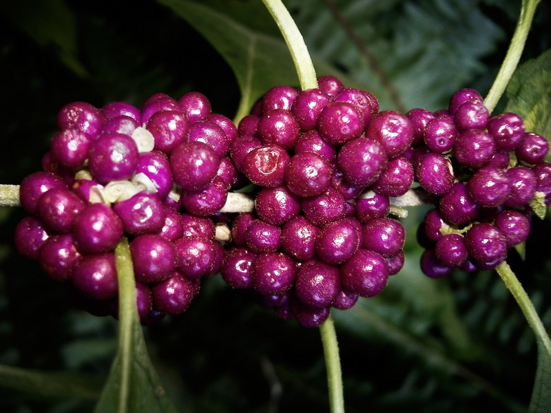 Photo: Purple Berries