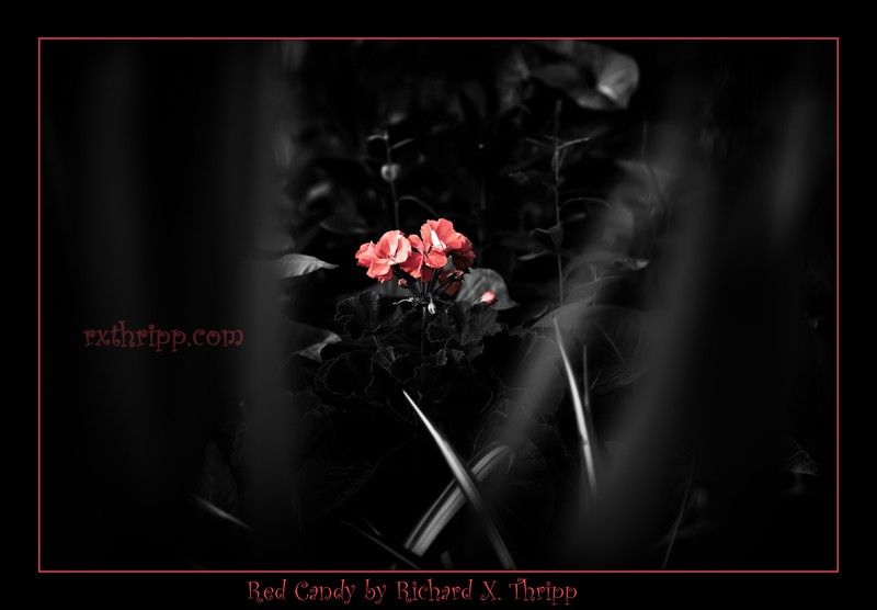 Red Candy — tasty red flowers in the woods