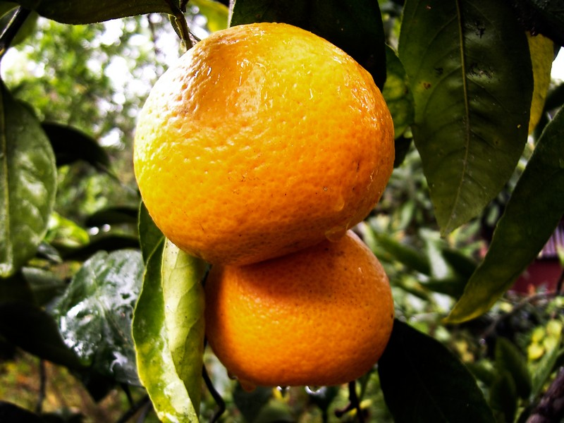 Photo: Ripe Oranges