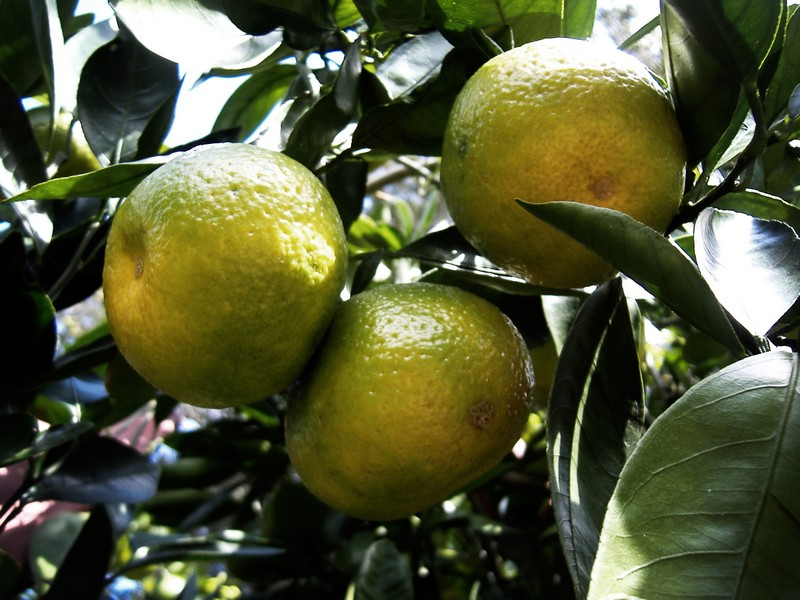 Photo: Ripening Oranges