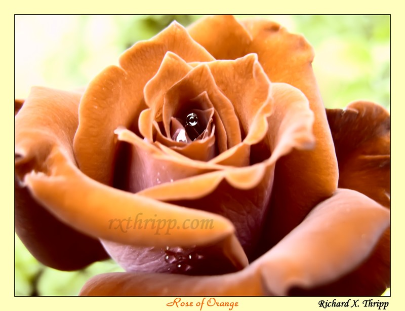 Rose of Orange — beautiful orange petals decorated with raindrops