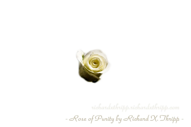 Rose of Purity — an isolated white rose