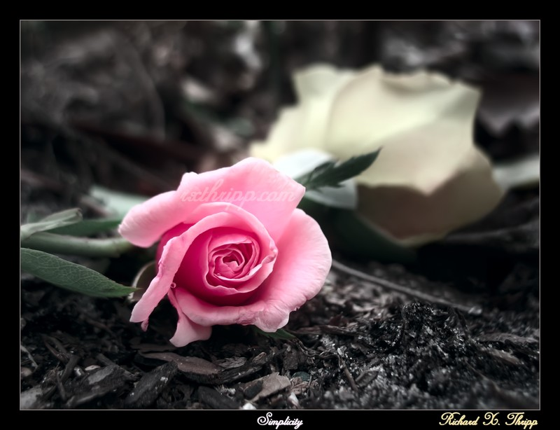 Simplicity — a beautiful pink rose