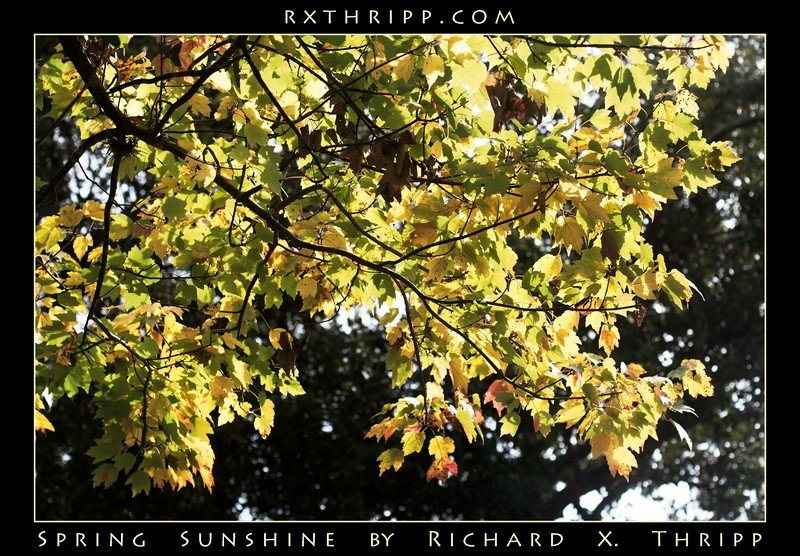 Spring Sunshine — bright green and yellow leaves, lit by the sun