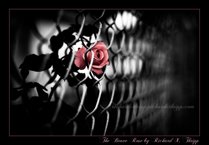 The Brave Rose — a pink rose trapped by a chain-link fence