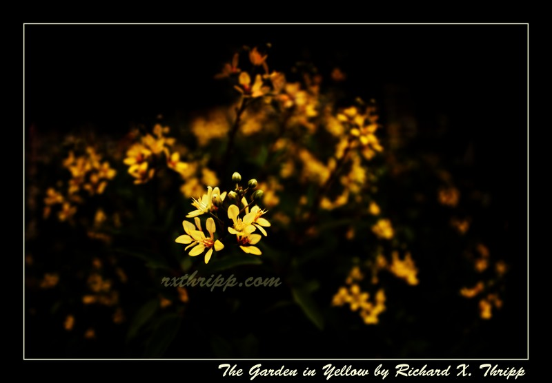 The Garden in Yellow — sharp yellow flowers against a black background
