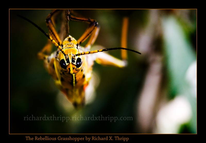 The Rebellious Grasshopper — a yellow bug hanging upside-down