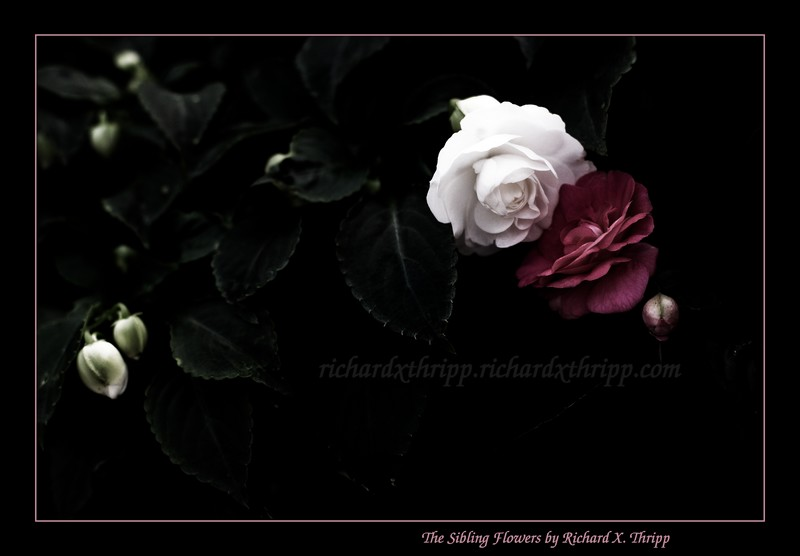 The Sibling Flowers — A red flower and a white flower together