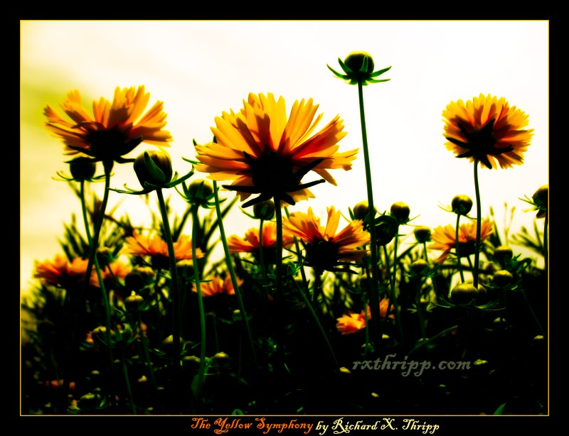 The Yellow Symphony — vivid flowers against a warm sky