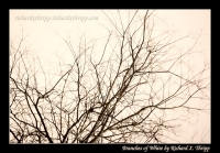 Branches of White