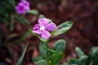Raindrop Petals
