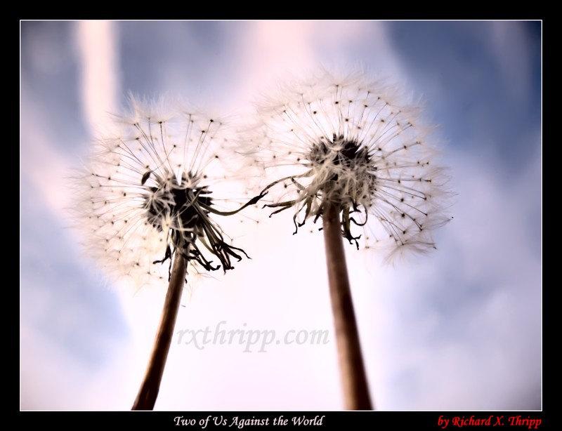 Two of Us Against the World — dandelion clocks