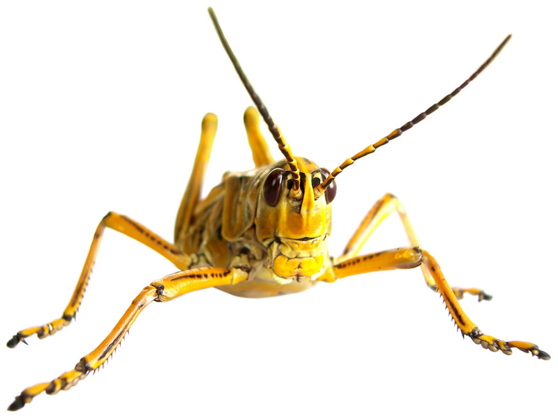 Yellow Grasshopper — a sharp bug on a white background