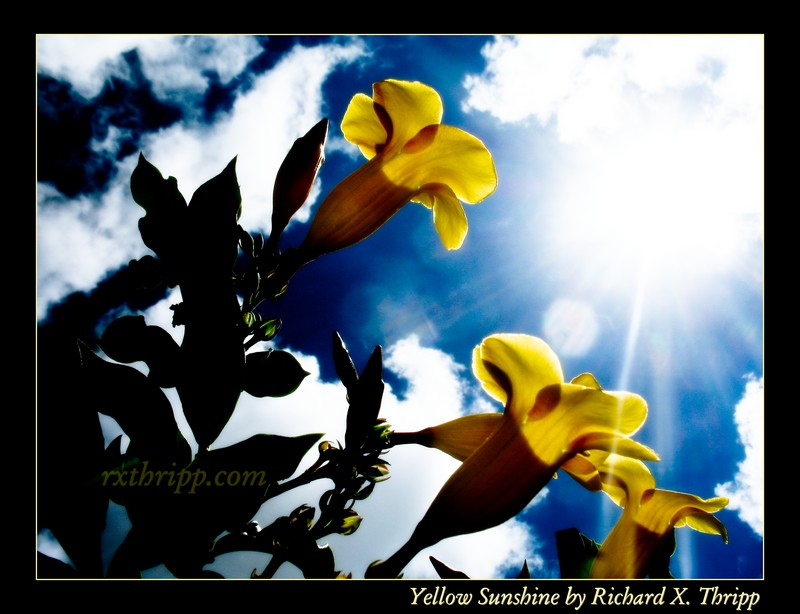 Yellow Sunshine — sunlit yellow flowers mix with a vivid blue sky